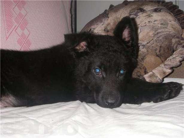Подрощенная девчушка черного окраса ркф, санкт-петербург