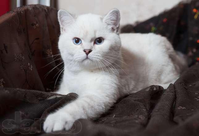 белые коты британцы фото