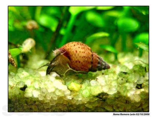 Продам хищных улиток хелена прекрасно урегулируют популяцию чрезмерно расплодившихся меланий