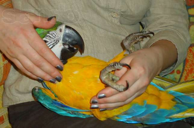 Попугай ара в домашних условиях