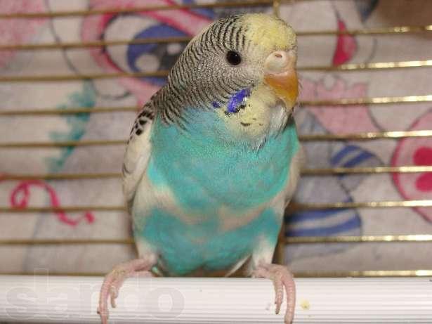 разновидности волнистых попугаев с фото выделить следующие линии