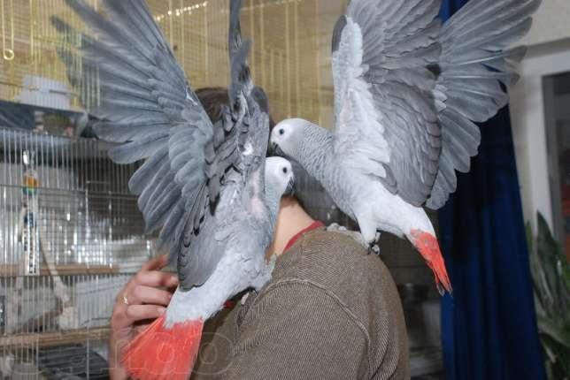 Разведение попугаев жако в домашних условиях - Shkafs-kupe.ru
