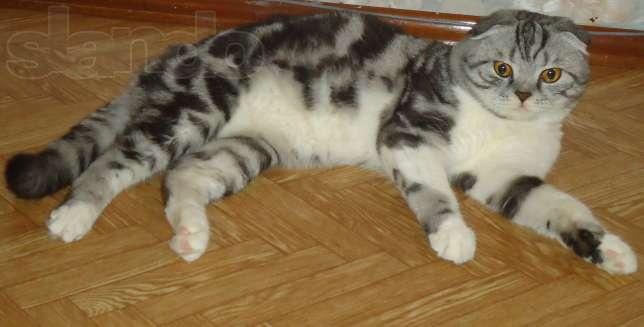 Ищу кота для вязки шотландского вислоухого воронеж